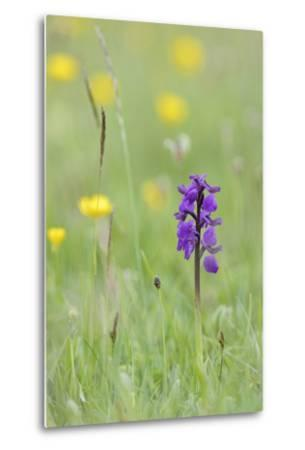 Green-Winged Orchid (Orchis) (Anacamptis Morio) Flowering in a Hay Meadow-Nick Upton-Metal Print