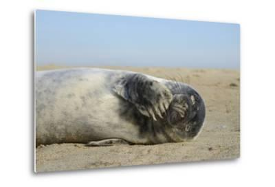 Grey Seal Pup (Halichoerus Grypus) Chewing a Flipper While Lying on a Sandy Beach-Nick Upton-Metal Print