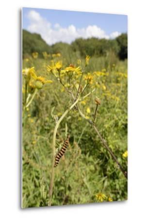 Cinnabar Moth Caterpillars (Tyria Jacobaeae) Feeding on Ragwort Plants (Senecio Jacobaea)-Nick Upton-Metal Print