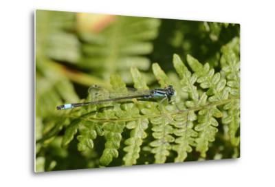 Male Blue-Tailed Damselfly (Ischnura Elegans) Resting on a Bracken Frond-Nick Upton-Metal Print