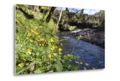 Lesser Celandines (Ranunculus Ficaria) Flowering on a Stream Bank in Woodland-Nick Upton-Metal Print