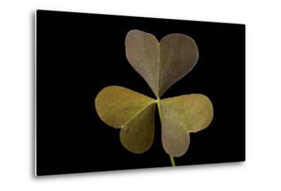 A Yellow Wood Sorrel Plant, Oxalis Stricta-Joel Sartore-Metal Print