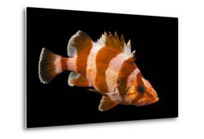 A Flag Rockfish, Sebastes Rubrivinctus, at Omaha's Henry Doorly Zoo and Aquarium-Joel Sartore-Metal Print