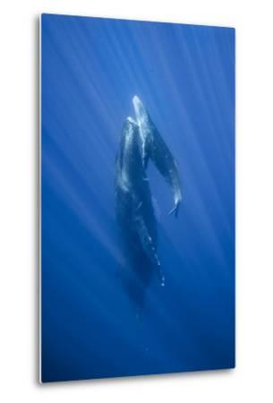 Friendly Mother and Calf Humpback Whale (Megaptera Novaeangliae)-Jonathan Kingston-Metal Print