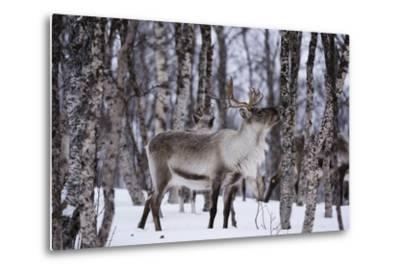 A Reindeer, Rangifer Tarandus, in a Snowy Forest-Sergio Pitamitz-Metal Print