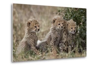 Three Cheetah (Acinonyx Jubatus) Cubs About a Month Old-James Hager-Metal Print