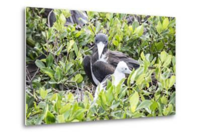 Frigate Bird Sanctuary, Barbuda, Antigua and Barbuda, Leeward Islands, West Indies-Roberto Moiola-Metal Print