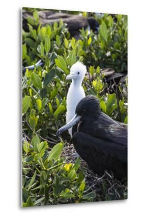 Mother Frigate Bird Tenaciously Protects Her Chick-Roberto Moiola-Metal Print
