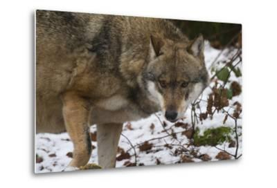 Gray Wolf (Canis Lupus), Bavarian Forest National Park, Bavaria, Germany, Europe-Sergio Pitamitz-Metal Print