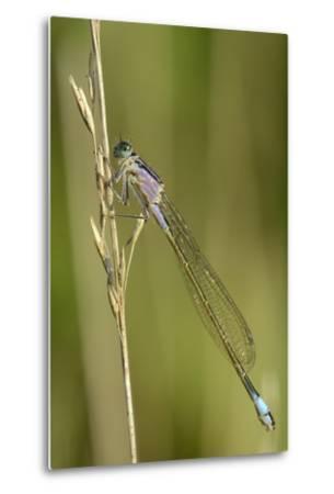 Female Blue-Tailed Damselfly (Ischnura Elegans)-Nick Upton-Metal Print