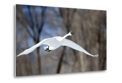A Tundra Swan, Cygnus Columbianus, Glides Past a Wooded River Bank-Robbie George-Metal Print