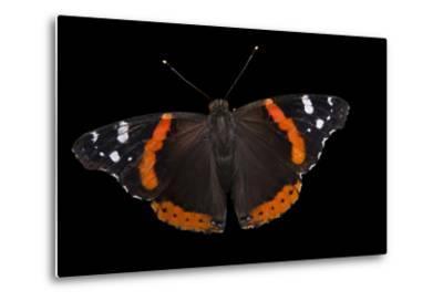A Red Admiral Butterfly, Vanessa Atalanta, at Leech Lake, Minnesota-Joel Sartore-Metal Print