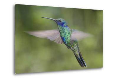 A Sparkling Violet Ear Hummingbird, Colibri Coruscans, in Flight-Bertie Gregory-Metal Print