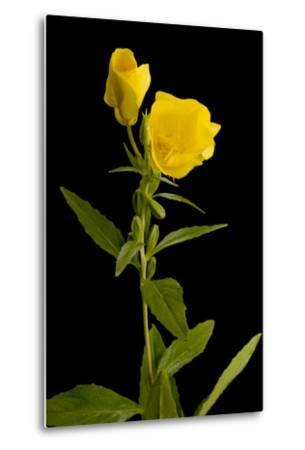 A Common Evening Primrose, Oenothera Biennis-Joel Sartore-Metal Print