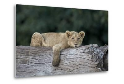 Lion (Panthera Leo) Cub on a Downed Tree Trunk, Ngorongoro Crater, Tanzania, East Africa, Africa-James Hager-Metal Print