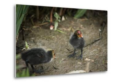 Coot (Fulica) Young Chicks, Gloucestershire, England, United Kingdom-Janette Hill-Metal Print