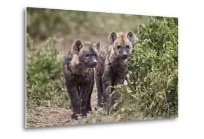 Two Spotted Hyena (Spotted Hyaena) (Crocuta Crocuta) Pups-James Hager-Metal Print