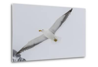 Adult Kelp Gull (Larus Dominicanus) in Flight at Brown Bluff, Antarctic Sound, Antarctica-Michael Nolan-Metal Print