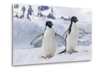 Adelie Penguin (Pygoscelis Adeliae) Pair, at Brown Bluff, Antarctica, Southern Ocean, Polar Regions-Michael Nolan-Metal Print