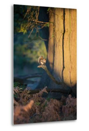 A Gray Squirrel Feeds in the Autumn Foliage of Richmond Park-Alex Saberi-Metal Print