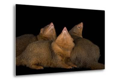 Common Dwarf Mongooses, Helogale Parvula, at the Omaha Henry Doorly Zoo-Joel Sartore-Metal Print