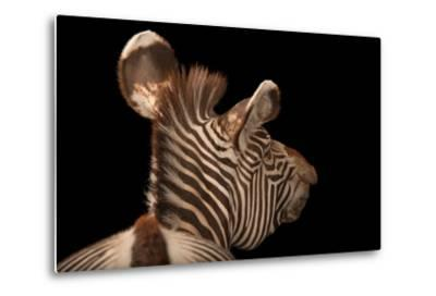 An Endangered Grevy's Zebra, Equus Grevyi-Joel Sartore-Metal Print