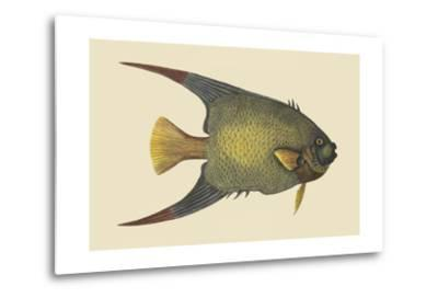 Angel Fish-Mark Catesby-Metal Print