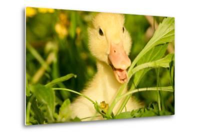 Small Yellow Duckling Outdoor On Green Grass-goinyk-Metal Print