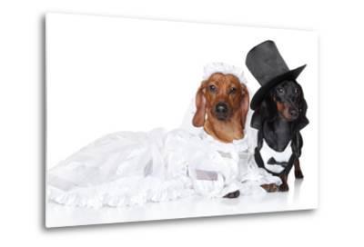 Fashionable Dachshund Dog Wedding-Jagodka-Metal Print