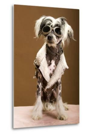Sexy Chinese Crested Hairless Sporting A Cool Coat And Glasses- Candicecunningham-Metal Print