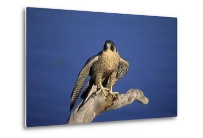 Falcon-outdoorsman-Metal Print