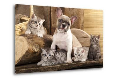 Cat And Dog, British Kittens And French Bulldog Puppy In Retro Background-Lilun-Metal Print