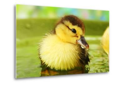 Cute Ducklings Swimming, On Bright Background-Yastremska-Metal Print
