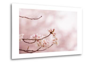 Spring Cherry Blossoms in Soft Spring Light-landio-Metal Print