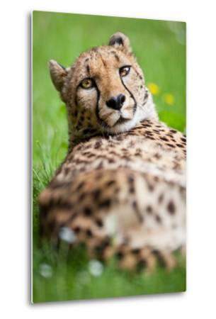 Cheetah (Acinonyx Jubatus)-l i g h t p o e t-Metal Print