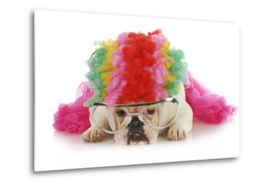 Silly Dog - English Bulldog Dressed Up Like A Clown On White Background-Willee Cole-Metal Print