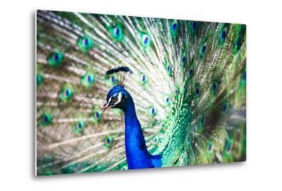 Splendid Peacock with Feathers Out (Pavo Cristatus)-l i g h t p o e t-Metal Print
