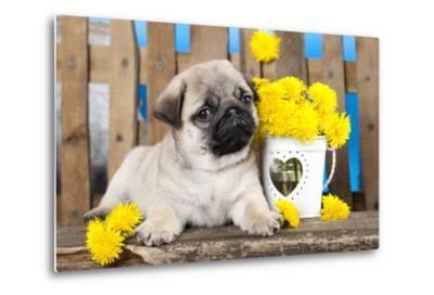 Pug Puppy And Spring Dandelions Flowers-Lilun-Metal Print