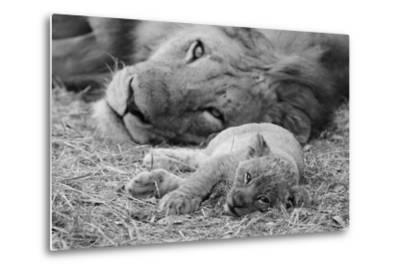 Cute Lion Cub Resting With Father-Donvanstaden-Metal Print