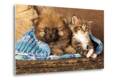 Spitz Puppy And Kitten Breeds Maine Coon, Cat And Dog-Lilun-Metal Print