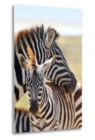Baby Zebra with Mother-MattiaATH-Metal Print
