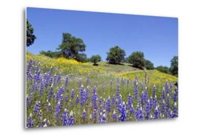 Lupines, California Poppies, and Oak Trees-coyote-Metal Print