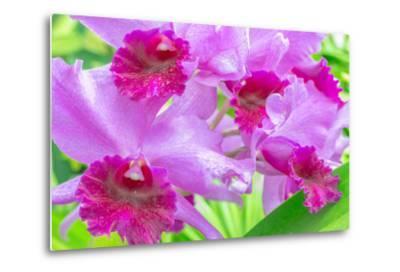 Cattleya Orchid-Island Leigh-Metal Print