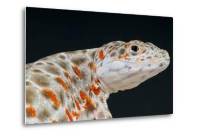 Leopard Lizard / Gambelia Wislizenii-Matthijs Kuijpers-Metal Print