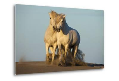 Two White Camargue Horses Trotting in Sand, Provence, France-Jaynes Gallery-Metal Print