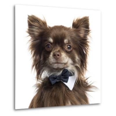 Close Up Of A Chihuahua Wearing A Bow Tie, Isolated On White-Life on White-Metal Print