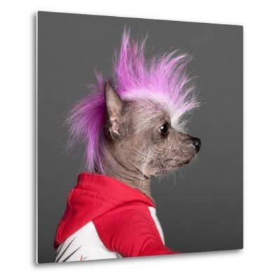 Close-Up Of Chinese Crested Dog With Pink Mohawk, 4 Years Old, In Front Of Grey Background-Life on White-Metal Print