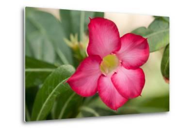 Close Up of the Flower of a Desert Rose, Adenium Obesum, Native to Saudi Arabia-Darlyne A^ Murawski-Metal Print