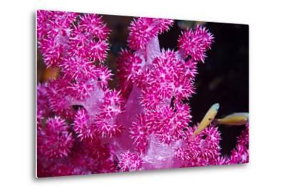 A Bright Pink Colony of Carnation Coral Harbors Small Fish-Jason Edwards-Metal Print