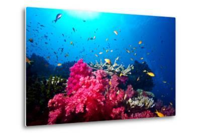 A Branching Pink Carnation Coral Swarming with Colorful Reef Fish-Jason Edwards-Metal Print